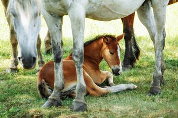 Naklejka na ściany i meble Little foal having a rest in the green grass