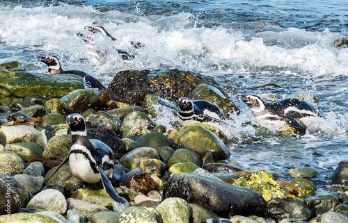 Magellanic penguins leaving the sea on Magdalena island in Chile