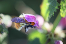 Macro Of Pollination From A Bee