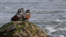 Harlequin Ducks (Histrionicus ...