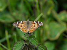 Painted Lady Butterfly ( Vanes...