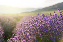 Blooming Lavender In A Field At Sunset.