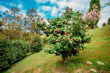 Beautiful Red Roses Bush In Garden