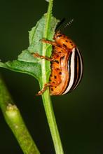 False Potato Beetle Eating A Leaf In Connecticut.