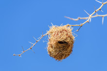 Weaver Bird Nests Hanging From Branches Of An Acacia Tree, Namibia