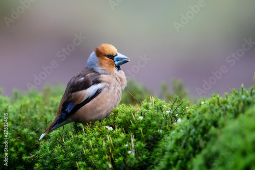 Fotografía Hawfinch in the forest in Noord Brabant in the south of the Netherlands