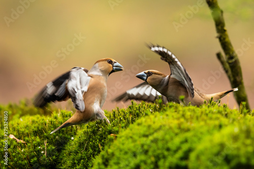 Fotomural Hawfinch fight in the forest in Noord Brabant in the south of the Netherlands
