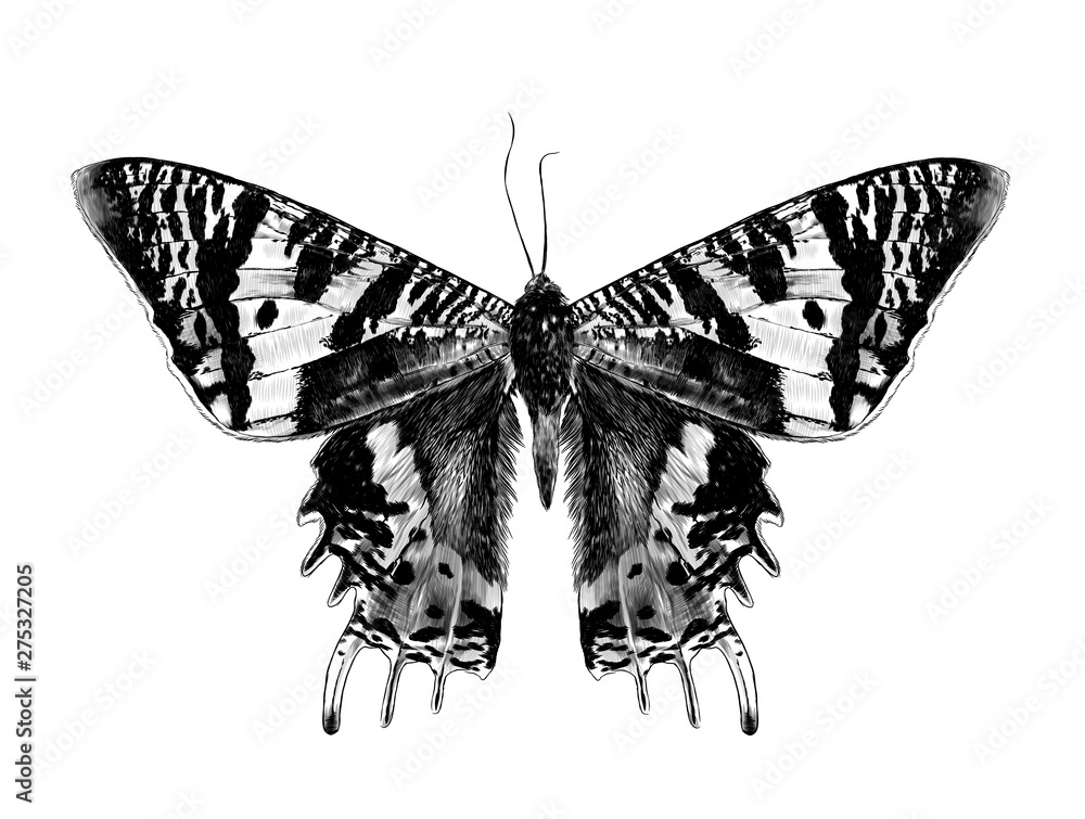 Fototapeta Urania Malagasy butterfly with open wings symmetrically, sketch vector graphic style monochrome illustration on white background