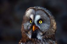 The Great Grey Owl Or Great Gray Owl (Strix Nebulosa), Portrait With Dark Background. Portrait Of The Big Owl.