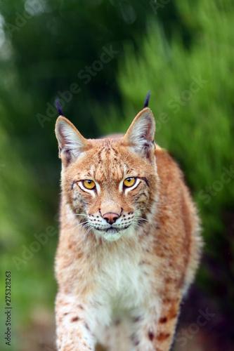 Foto auf Leinwand Luchs The Eurasian lynx (Lynx lynx), portrait. Eurasian lynx portrait. lynx portrait insite the greenery.