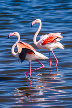 Flamingos In The Sea At Walvis Bay, Namibia