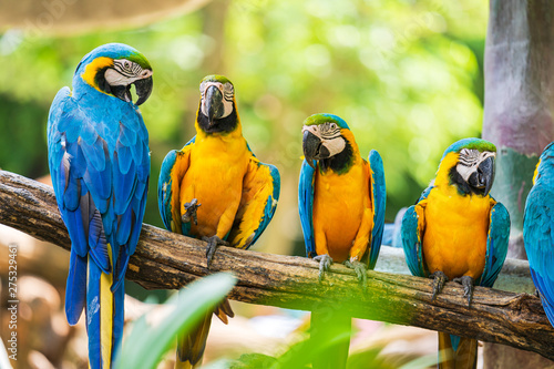 Poster Papegaai Group of colorful macaw on tree branches