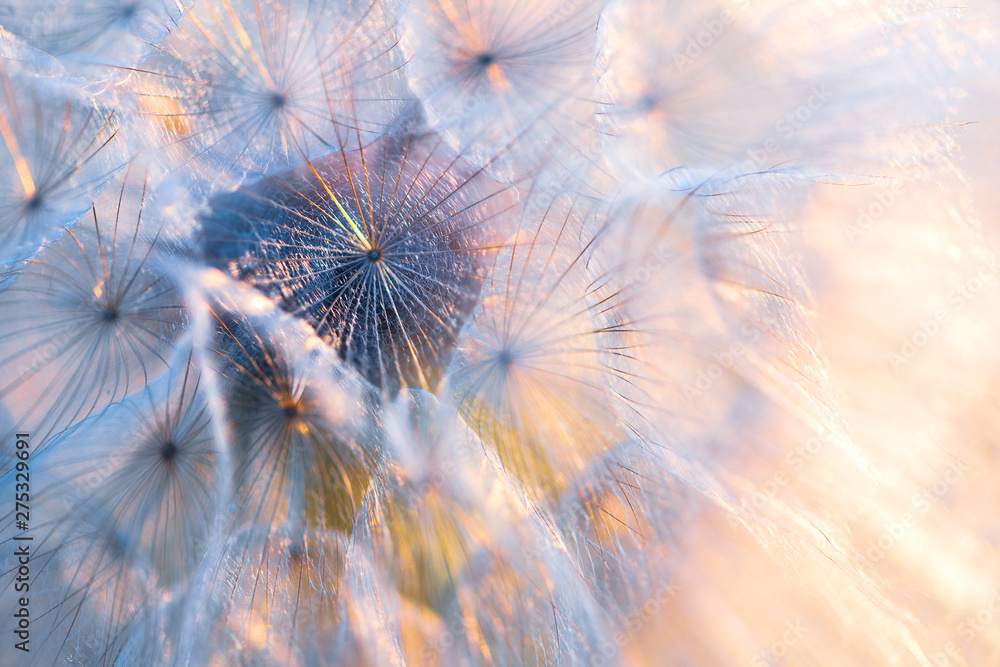 Fototapety, obrazy: Close up seeds of dandelion flower in sunset rays. Backlight. Summer nature background. Macro. Soft focus