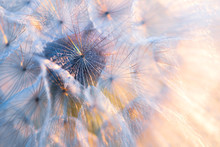 Close Up Seeds Of Dandelion Flower In Sunset Rays. Backlight. Summer Nature Background. Macro. Soft Focus