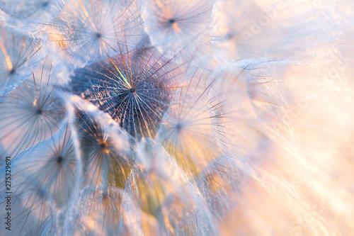 Foto auf Leinwand Lowenzahn Close up seeds of dandelion flower in sunset rays. Backlight. Summer nature background. Macro. Soft focus