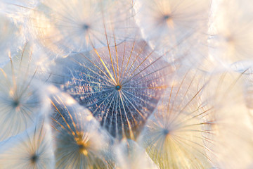 Obraz na SzkleClose up seeds of dandelion flower in sunset rays. Backlight. Summer nature background. Macro. Soft focus