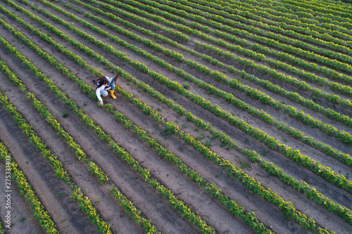 Fototapeta Top view of agronomist checking plant growth in field obraz