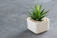 Haworthia Succulent In Pot On Gray Concrete Background. Copy Space For Text.