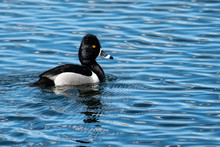 Ring Necked Duck Swimming In The Blue Water