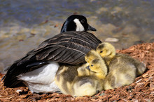Newborn Goslings Quietly Napping Beside Their Mother