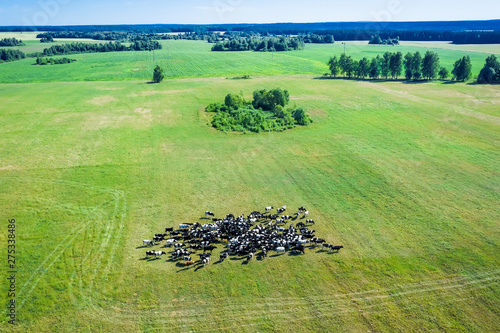 Fotografia Summer landscape with a herd of grazing cows in the pasture