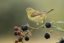 Phylloscopus Trochilus, Willow Warbler Perched On A Branch. Migratory Insectivorous Bird. Spain. Europe.
