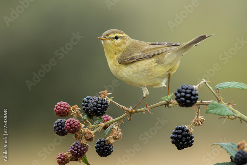 Photo Phylloscopus trochilus, Willow Warbler perched on a branch