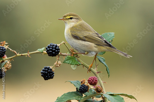 Valokuvatapetti Phylloscopus trochilus, Willow Warbler perched on a branch