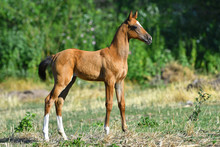 Bay Akhal Teke Foal Standing In The Field Alone. Side View.