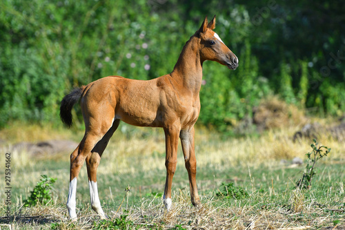 Bay Akhal Teke foal standing in the field alone. Side view. Fototapete