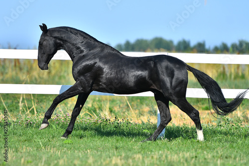 Pinturas sobre lienzo  Black Akhal Teke stallion galloping along paddock fence