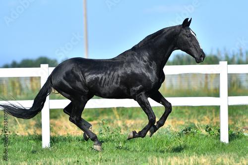 Fotomural  Black Akhal Teke stallion galloping along paddock fence