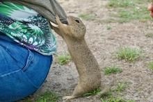 European Ground Squirrel Deman...