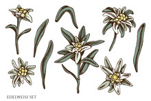Vector Set Of Hand Drawn Colored Edelweiss