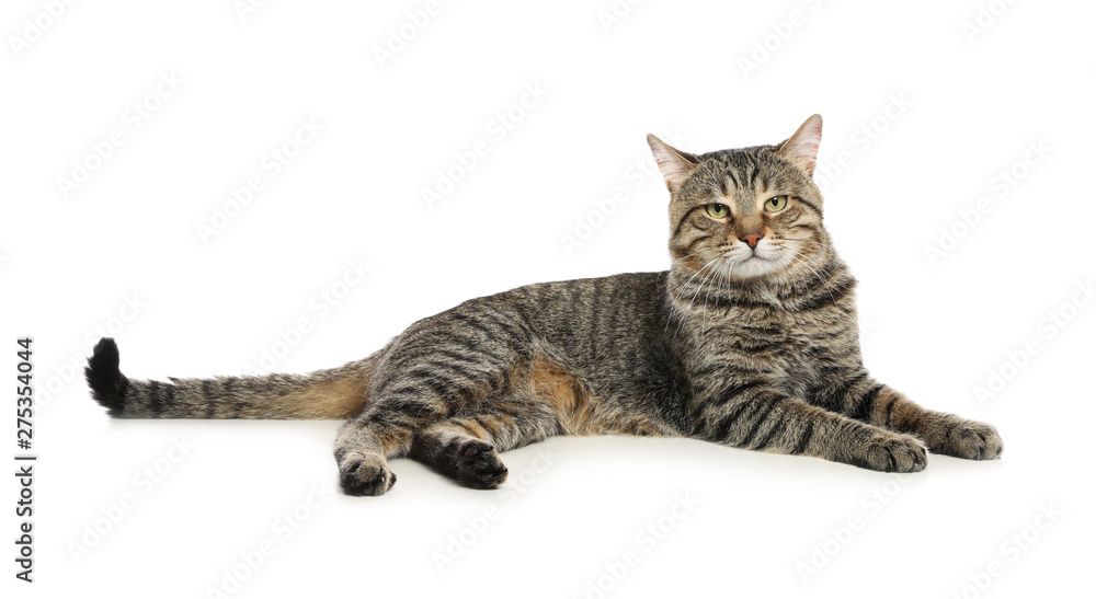 Fototapety, obrazy: Cute tabby cat isolated on white. Friendly pet