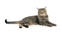 Cute Tabby Cat Isolated On White. Friendly Pet