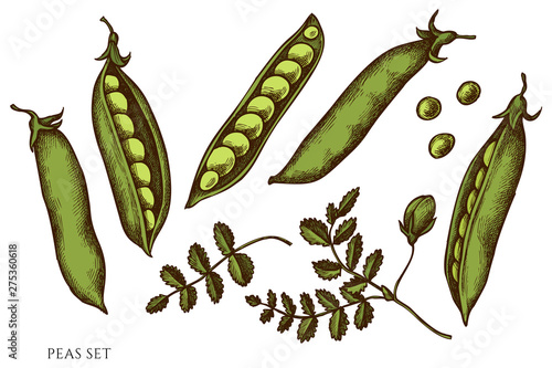 Vászonkép Vector set of hand drawn colored peas