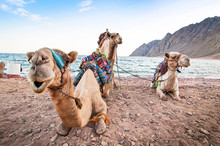 Camels Resting On The Shore Of Red Sea In Dahab, Egypt