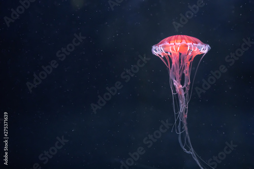 Photographie  glowing jellyfish chrysaora pacifica underwater