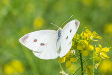 Close Up Of White Cabbage Butterfly Sitting On Yellow Flowers