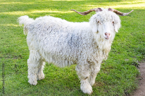 Photo The Angora goat is a breed of domesticated goat, historically known as Angora