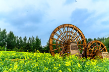 Canola Flower Blooming In Changchun Park, China