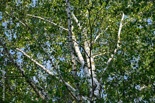 Crown of birch with green leaves.