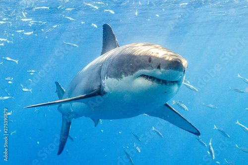 Fotografie, Obraz Great White Shark in Guadalupe Mexico