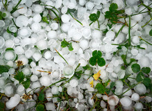 Green Clover Leaves Covered With Ice Hail