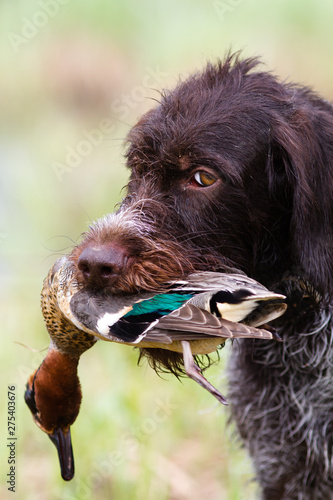 the hunting dog carries a downed duck in his teeth