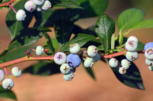 Fresh Blueberrys On The Branch