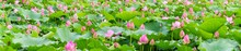 Panoramic View Of Lotus Flowers In A Pond