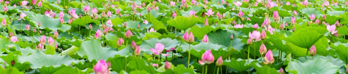 Fototapetaa panorama of lotus flowers in a pond