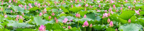 Photo Stands Lotus flower a panorama of lotus flowers in a pond